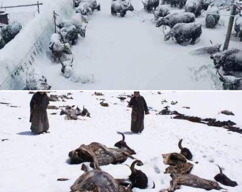 Viscolele din timpul furtunilor de zăpadă în Sershul au cauzat moartea multor iaci